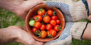 Illustration agriculture, tomates, transmission